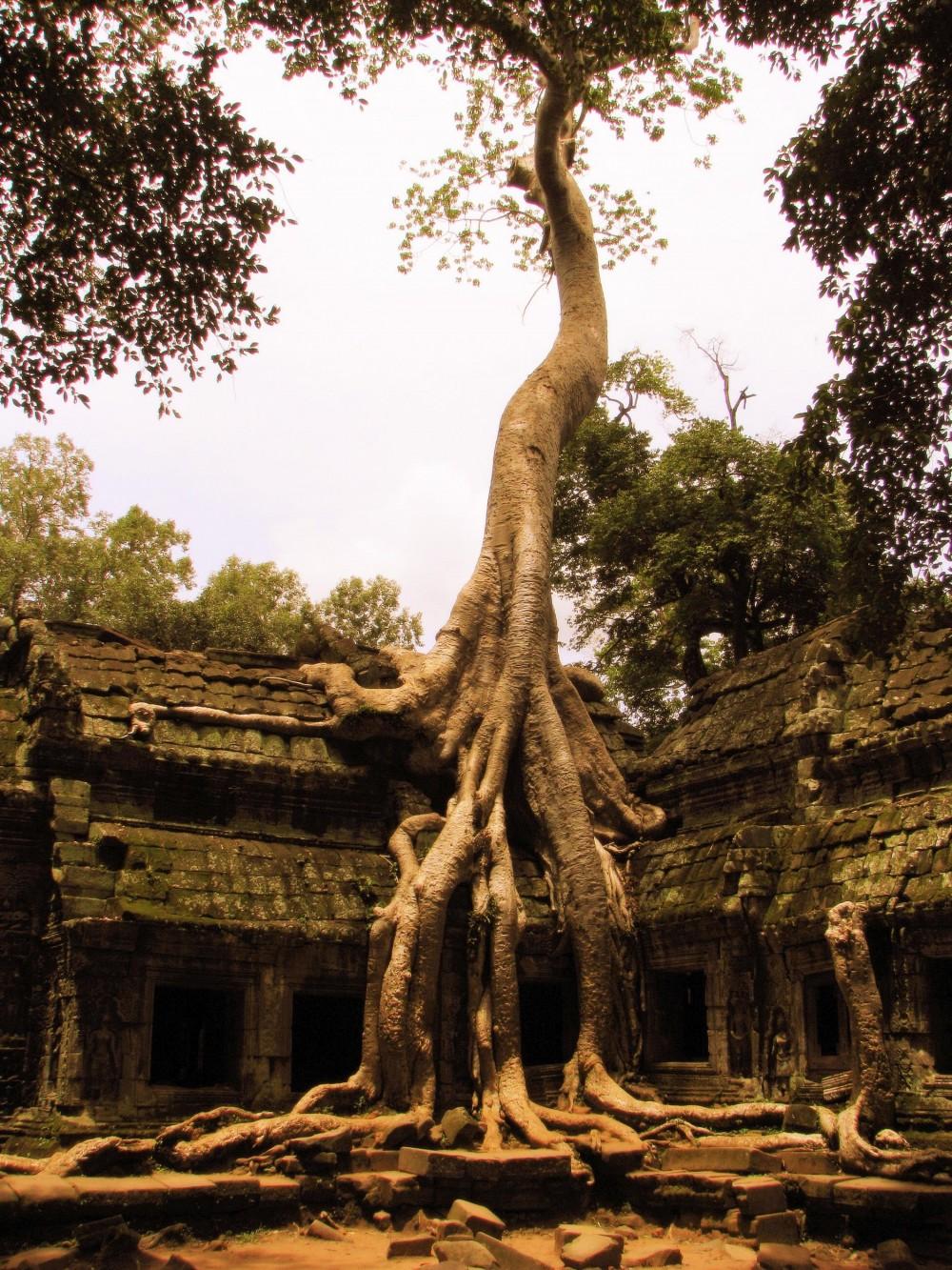 Tree at Ta Prohm Temple