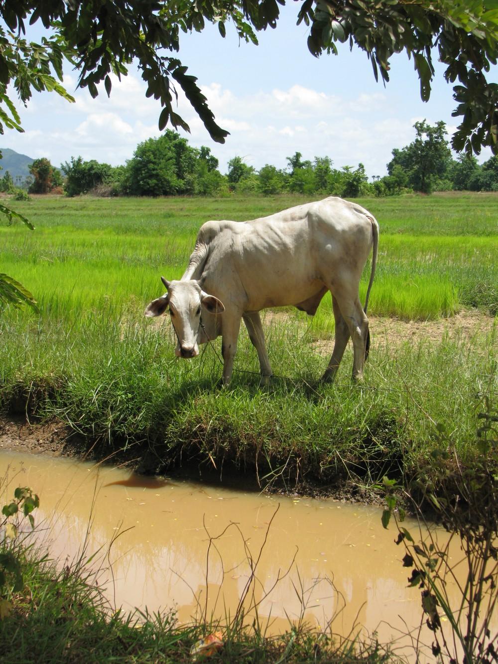 Cambodian Cow Cebú