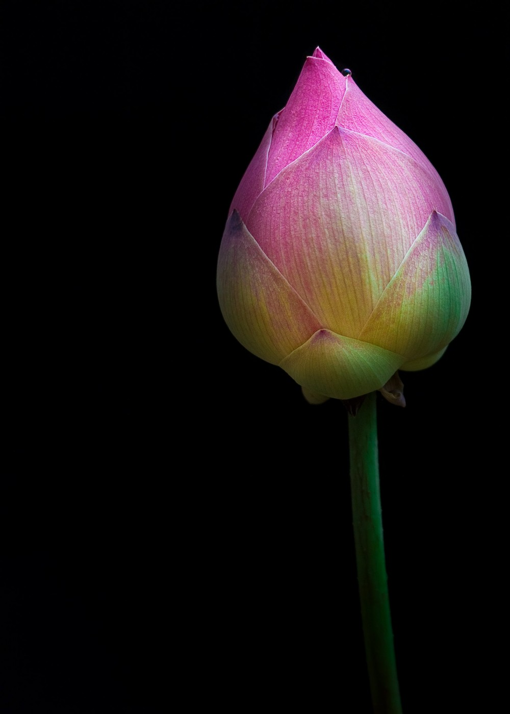 Lotus Flower Bud