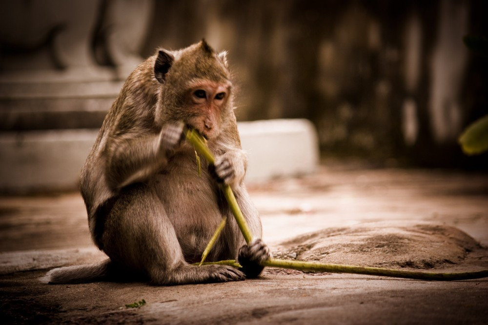 Monkey Eating in Cambodia at Wat Phnom