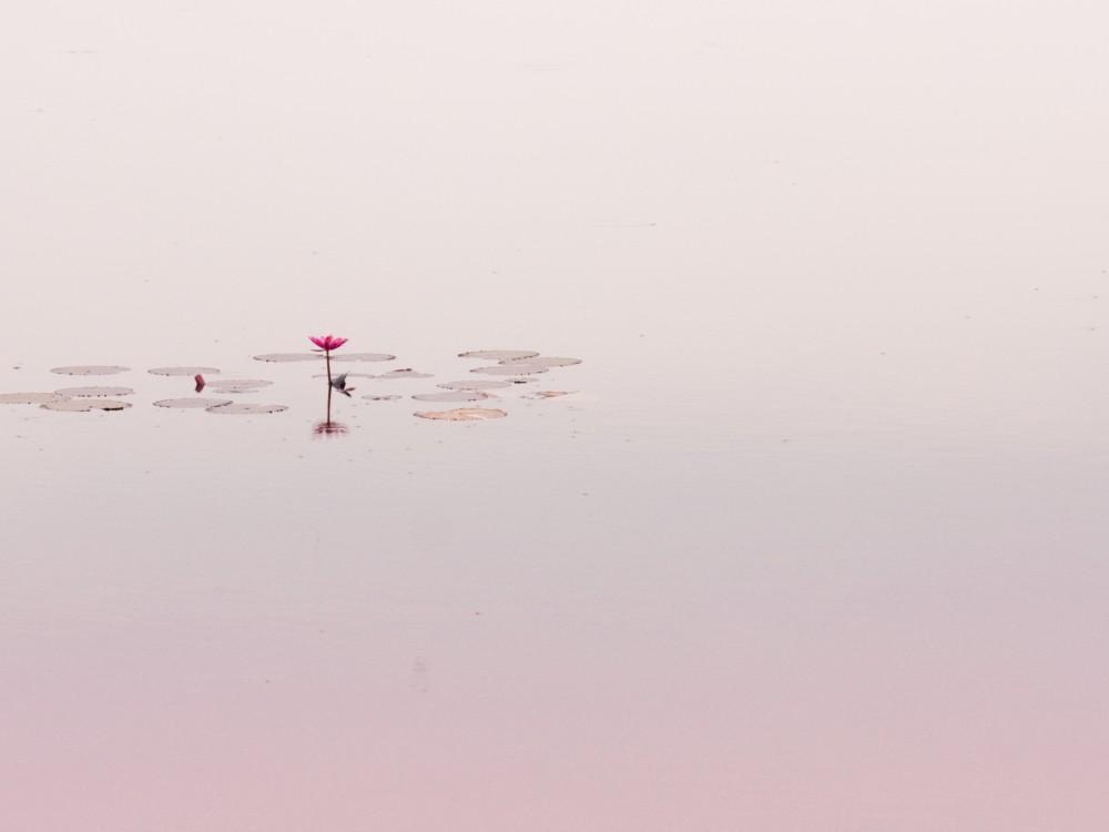 Lone Lotus Flower in Pond