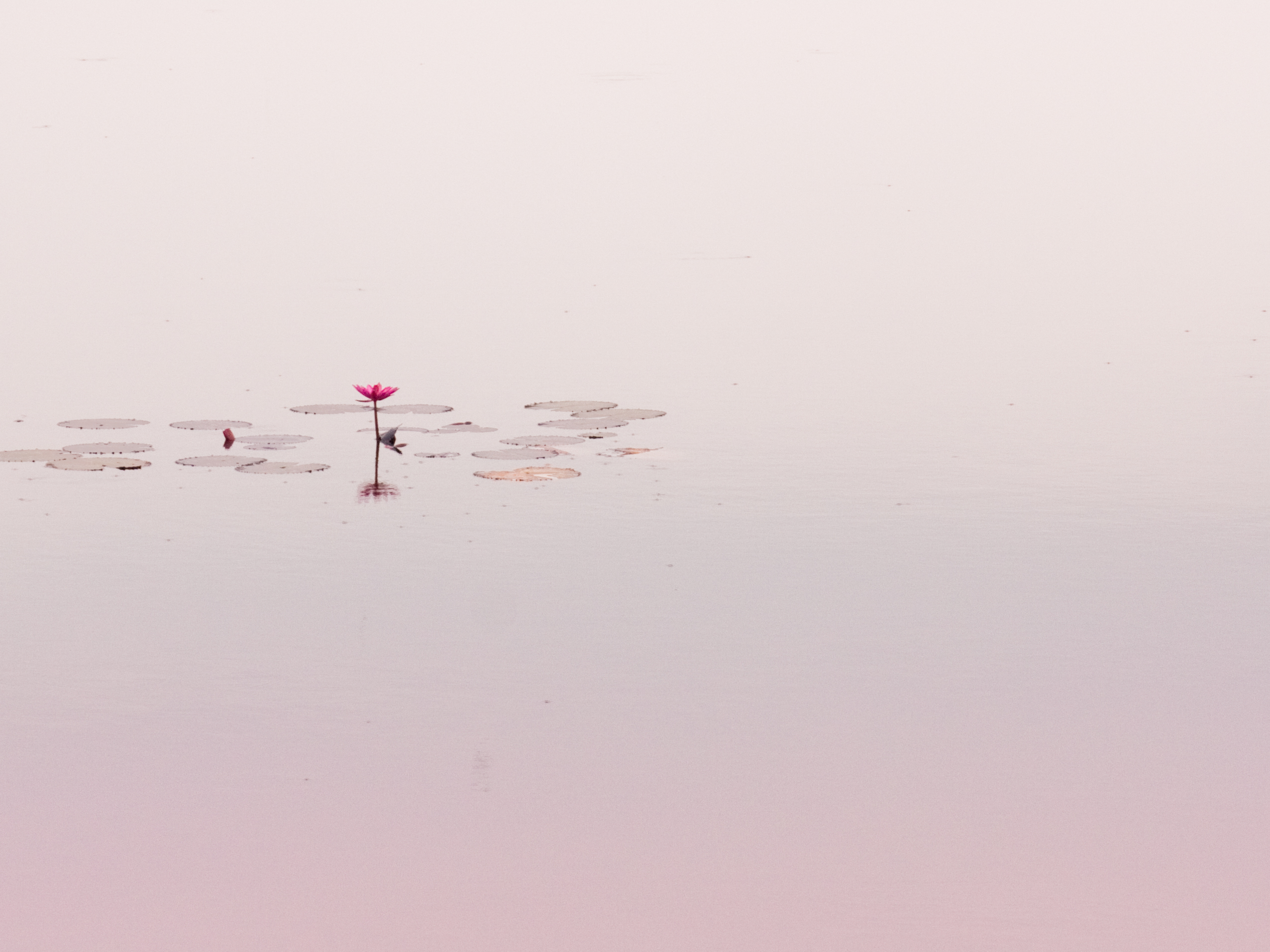 Lone Lotus Flower in Pond