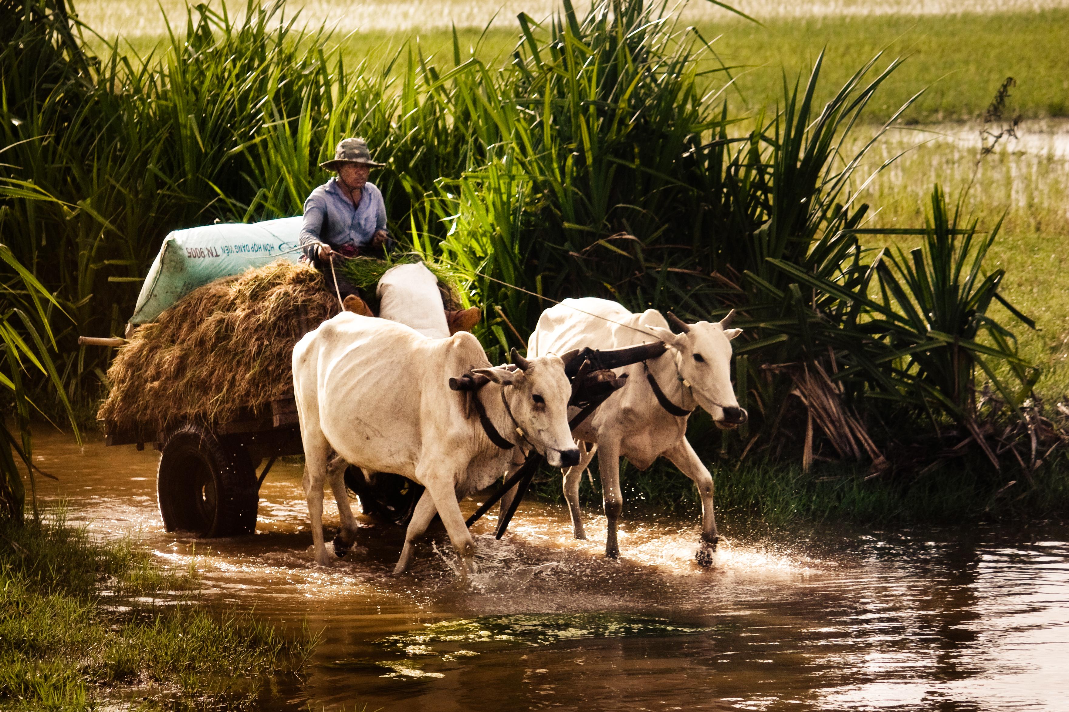 Cambodian Ox Cart
