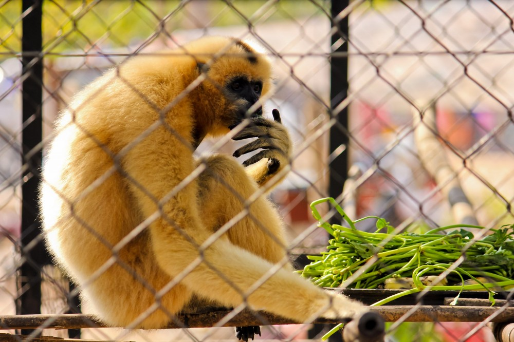 Lar Gibbon in Cambodian