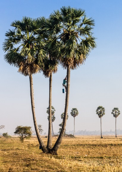 Man Climbing Palm Tree in Cambodia
