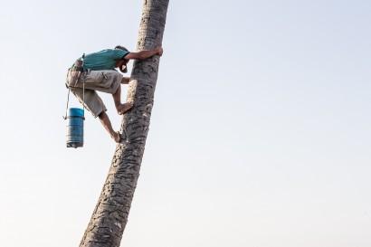 Cambodian Man Climbing Palm Tree