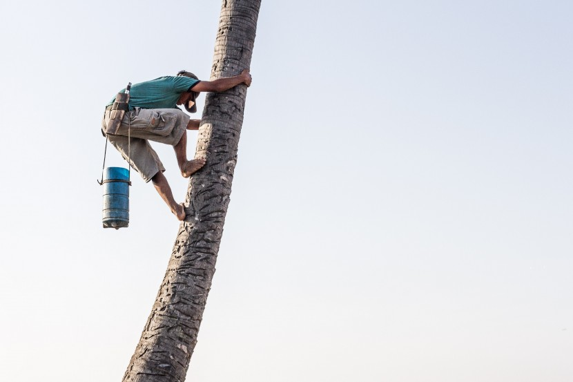 Cambodian Man Climbing Palm Tree
